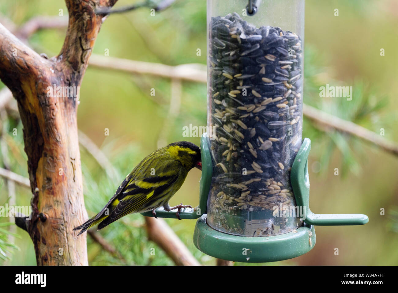 A male Siskin (Carduelis spinus) finch feeding on a garden bird seed feeder in a pine forest. Scotland, UK, Britain - Stock Image