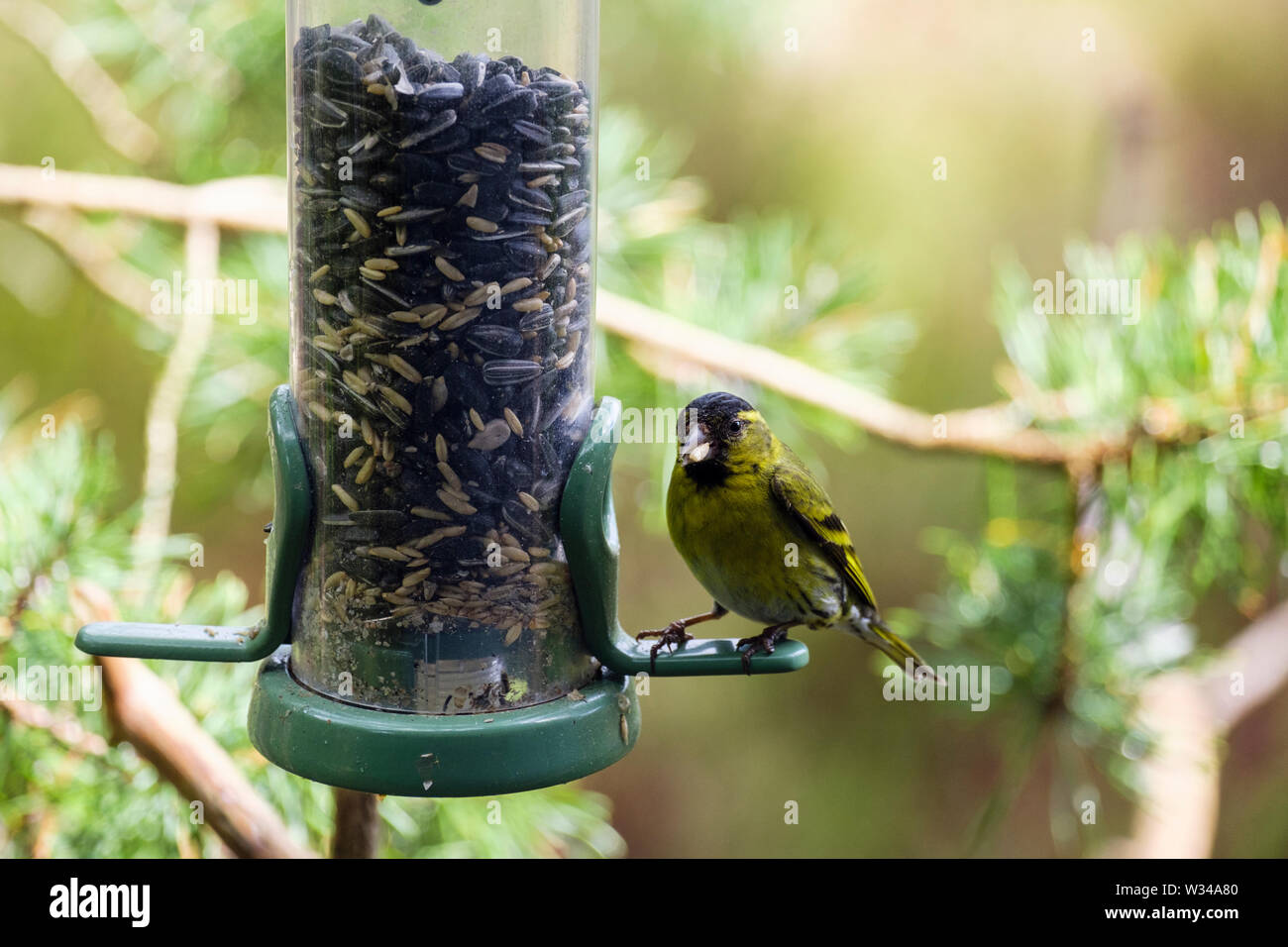 A male Siskin (Carduelis spinus) finch eating a seed from a garden bird feeder in a pine forest. Scotland, UK, Britain - Stock Image