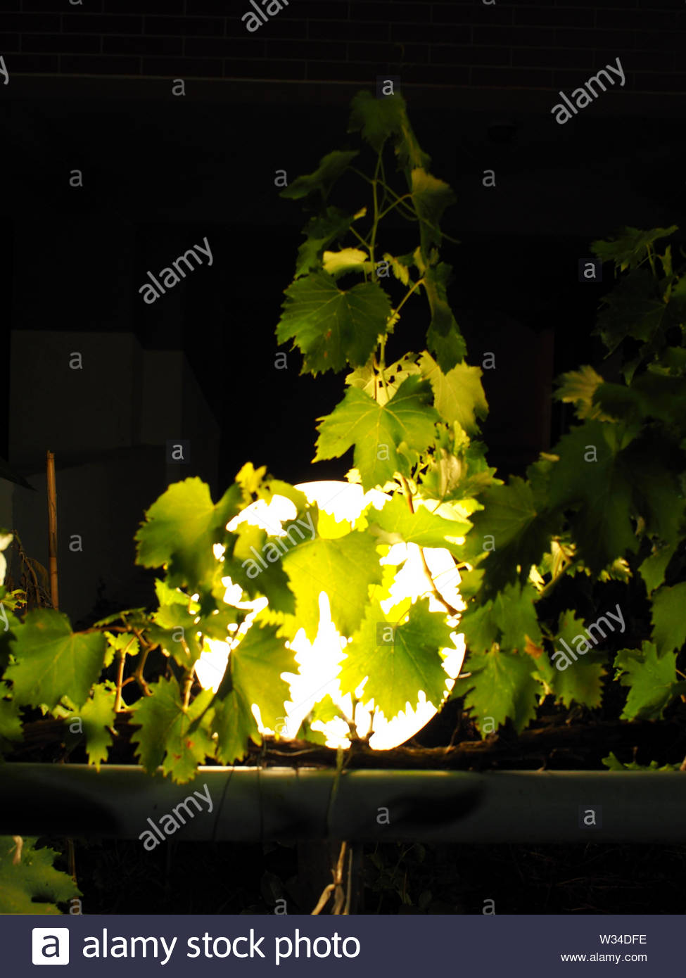 abstract view of a grape plant at night - Stock Image