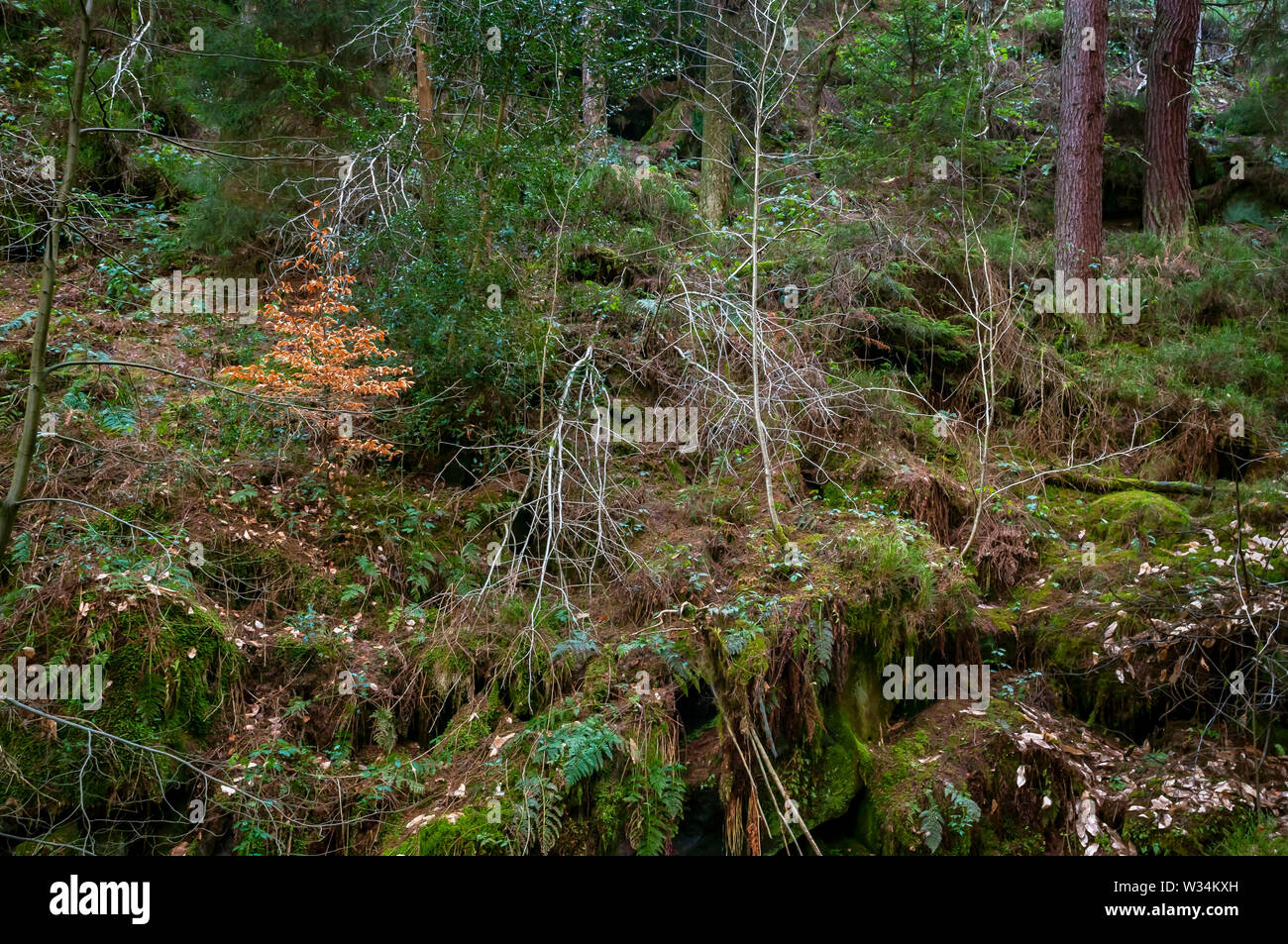 Detail scene of tree trunks, branches and mosses at Wyming Brook Gorge on the outskirts of Sheffield, South Yorkshire. Stock Photo
