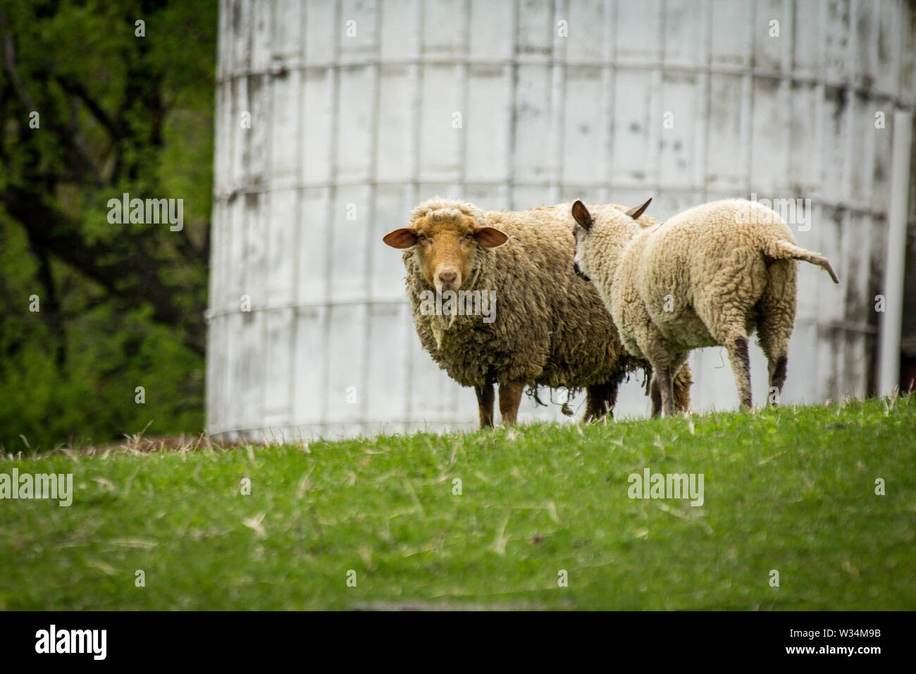 Sheep on farm hillside during early spring day - Stock Image