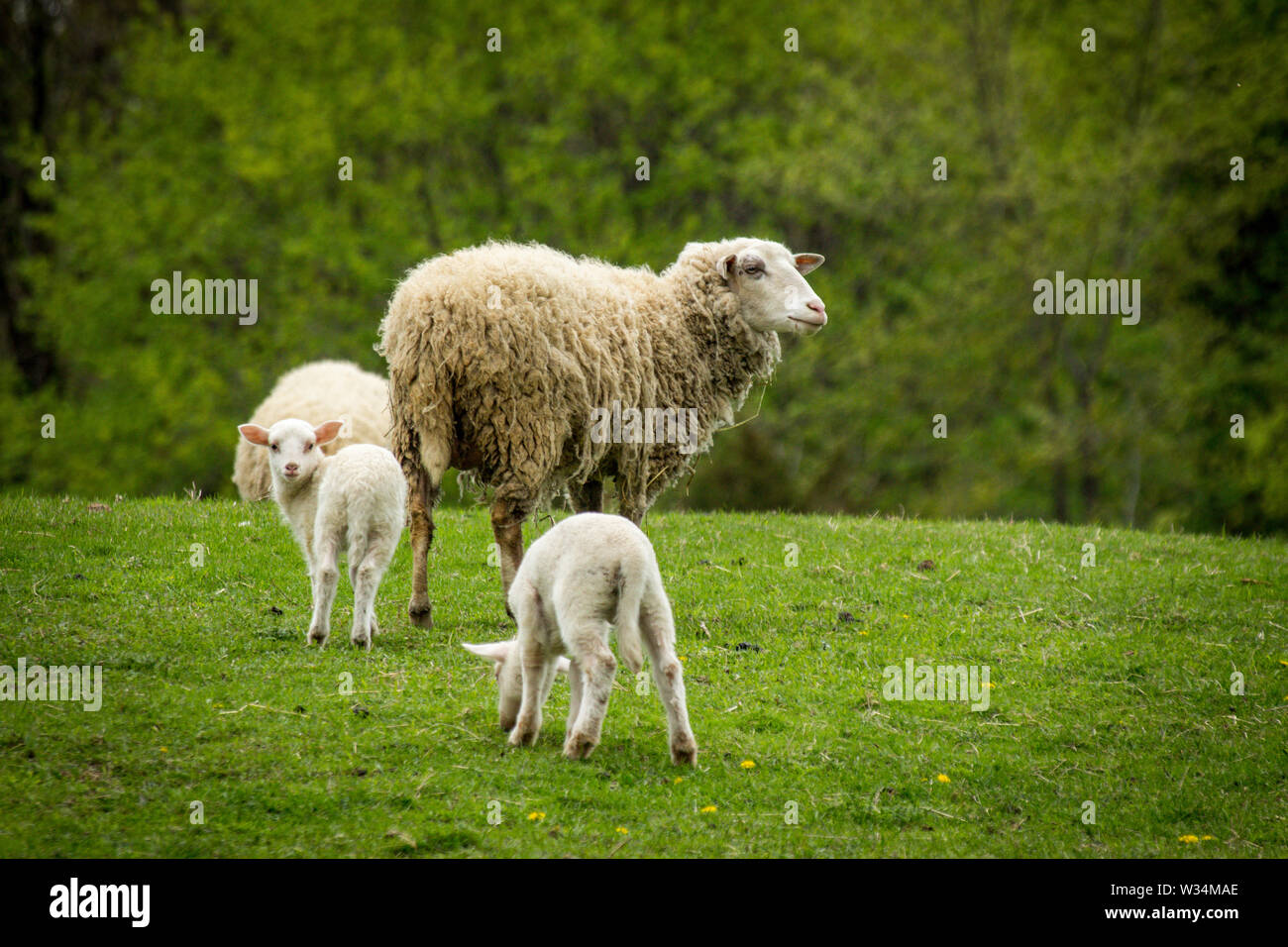 Mother sheep with two babies on farm hillside during early spring day - Stock Image