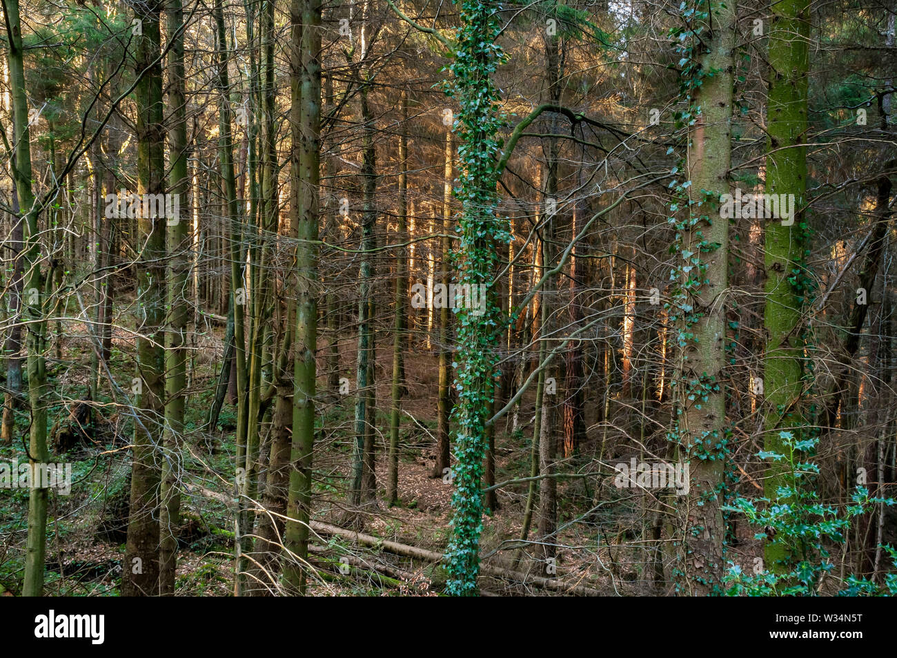 Sun-dappled view of the trunks of a conifer plantation near Wyming Brook Gorge on the outskirts of Sheffield, South Yorkshire. - Stock Image