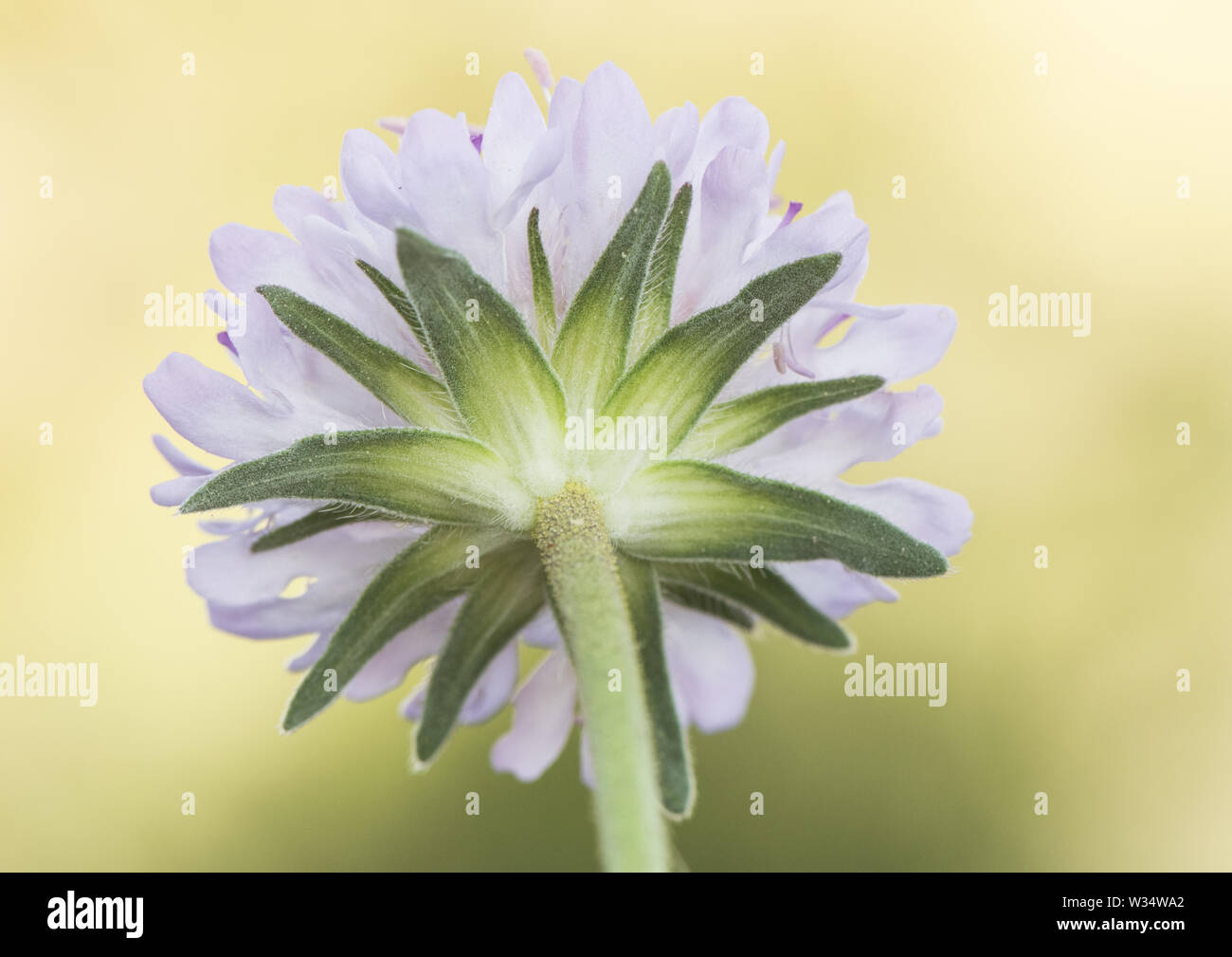 Knautia subescaposa precious purple flower of high mountain with hairy leaves - Stock Image