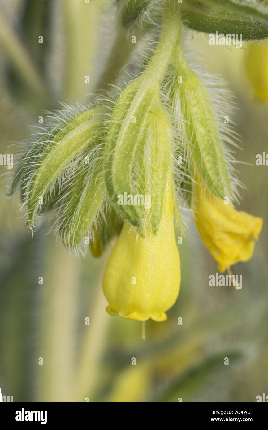 Onosma tricerosperma lovely yellow soft flower with many hairs on the leaves - Stock Image