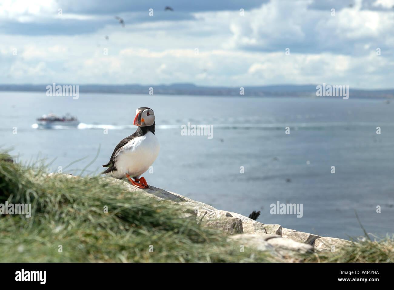 Farne Islands, Northumbrian Coast. UK. Sea, sea birds, puffins and lighthouse Stock Photo