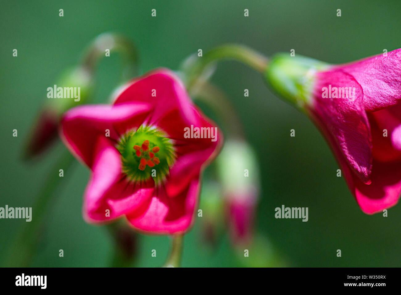 The flowers of an Oxalis tetraphylla 'Iron Cross' Stock Photo