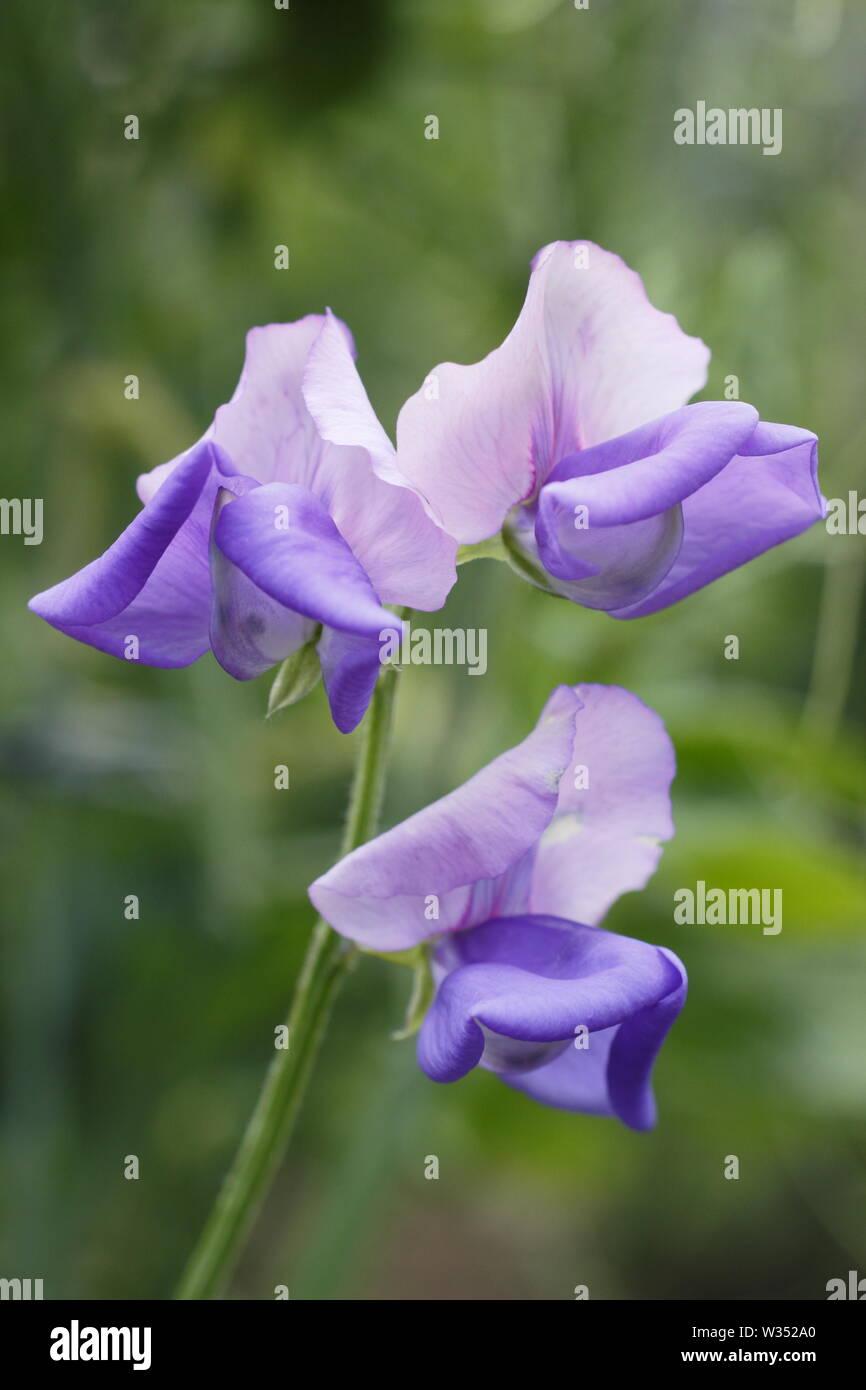 Caption 95/150  Lathyrus odoratus 'Erewhon' - Modern Grandiflora sweet pea  flowering in June. Reverse bicolour - Stock Image