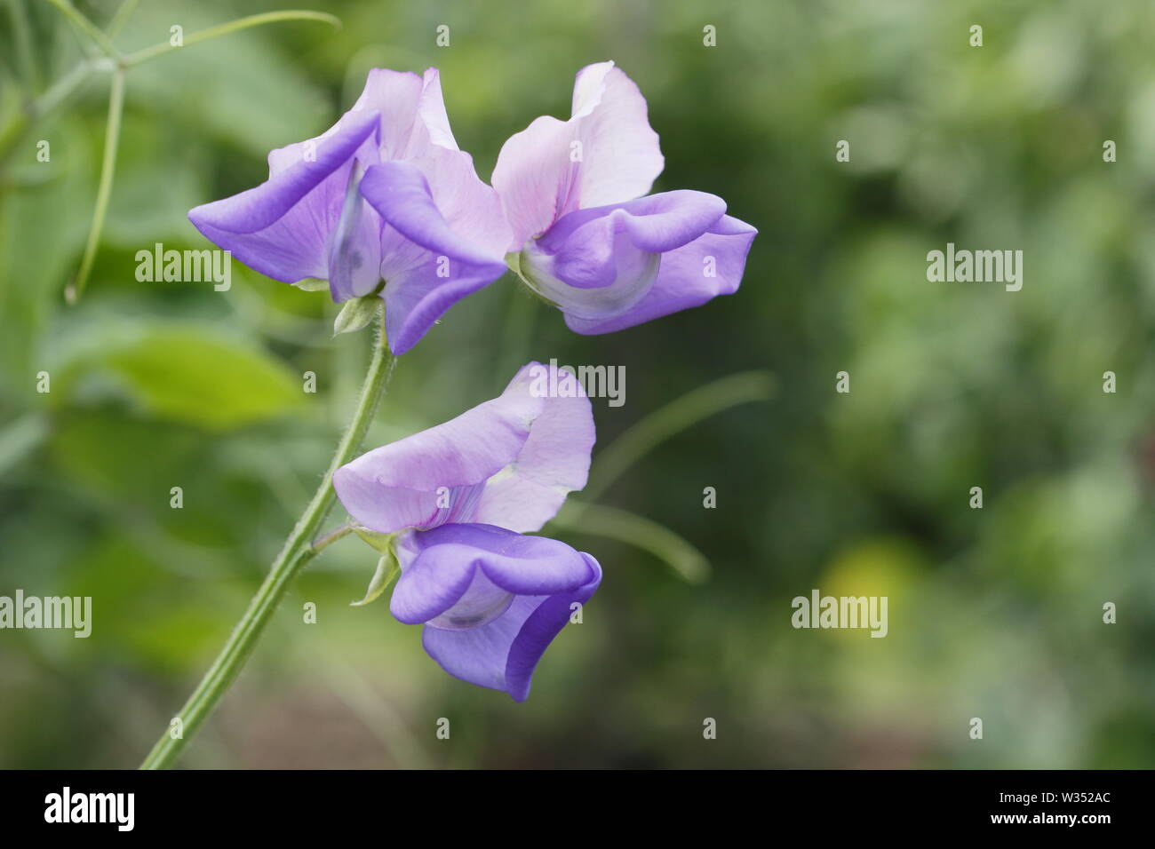 Lathyrus x hammettii 'Erewhon' - Modern Grandiflora sweet pea  flowering in June. Reverse bicolour Stock Photo