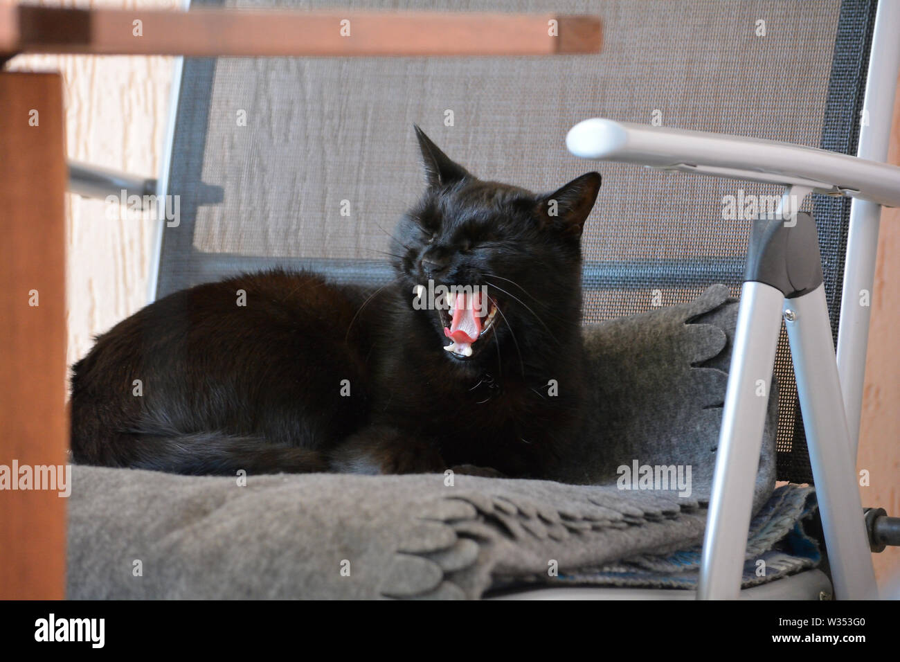 Elegant black cat curled in a garden chair, yawning - Stock Image