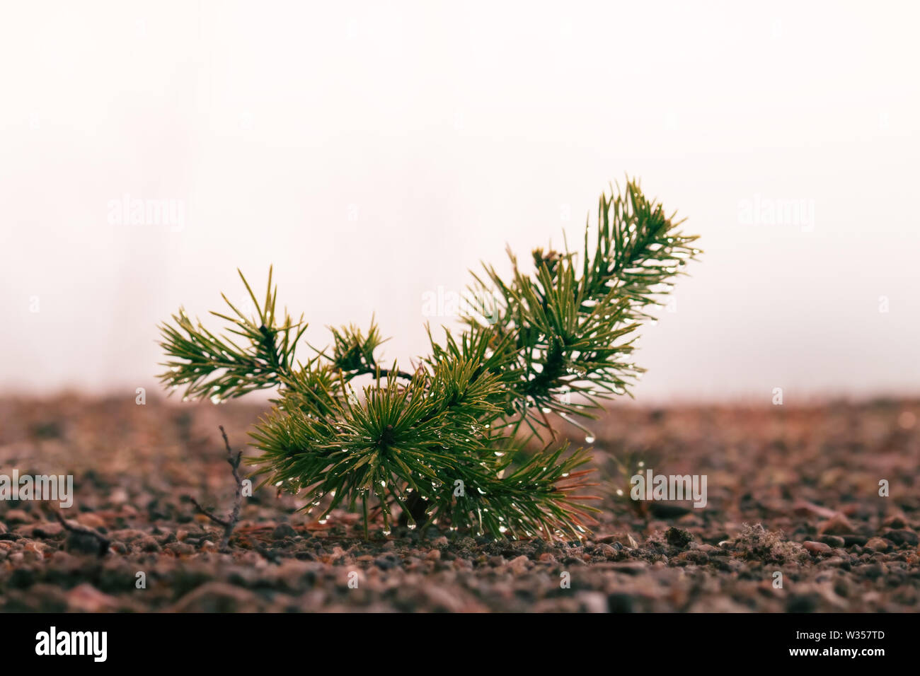 Small trees in fog and dew, pine undergrowth. Early spring in the North - Stock Image
