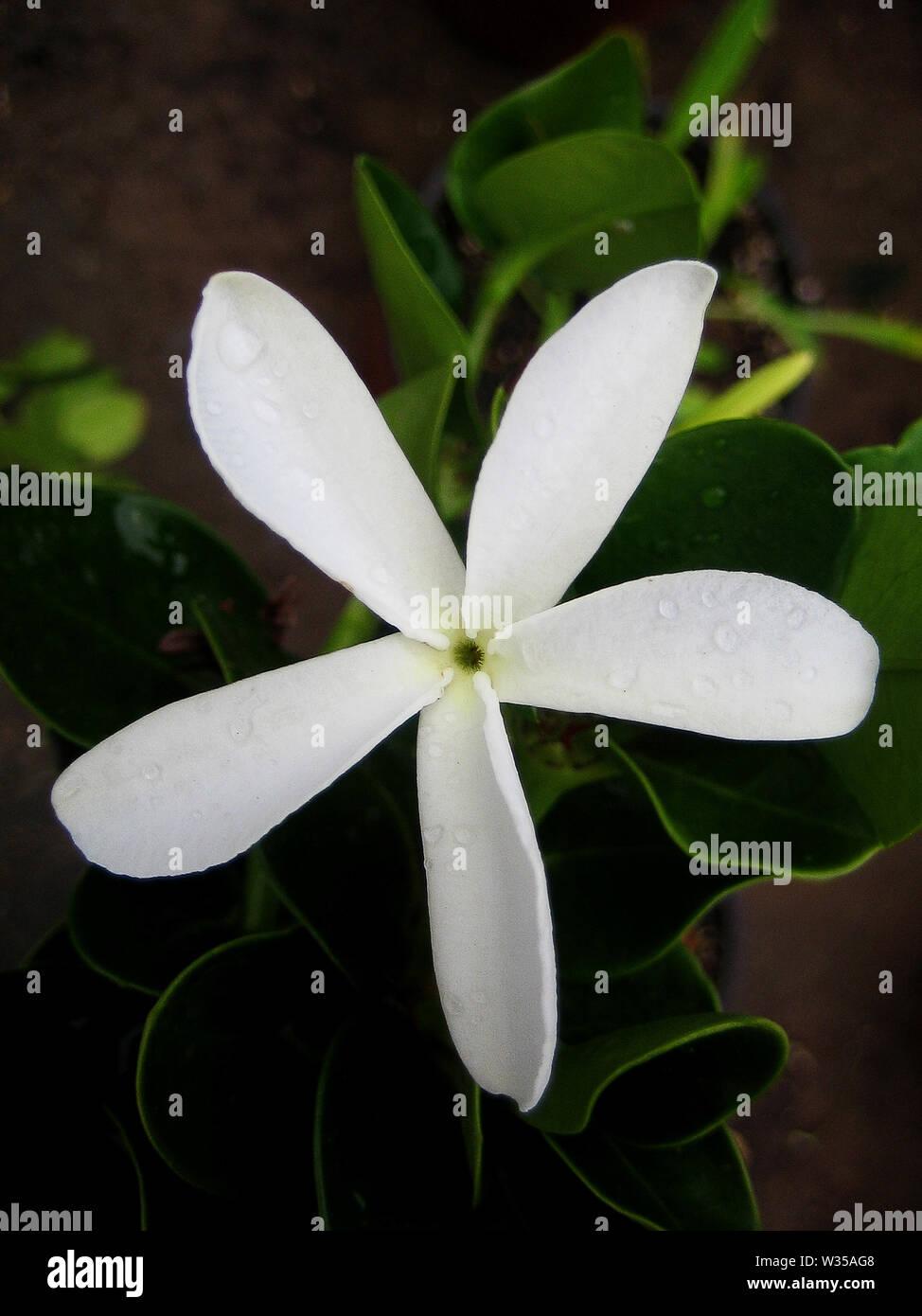 Carissa macro flower apocynaceae family background wallpaper fine art prints. - Stock Image