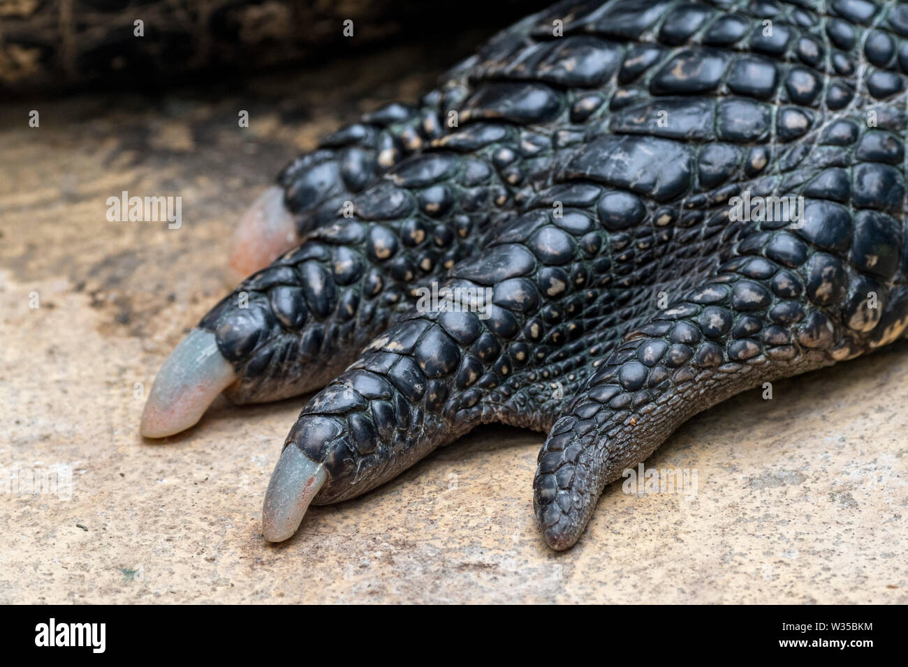 American alligator / gator / common alligator (Alligator mississippiensis) close-up of foot showing claws and scutes - Stock Image