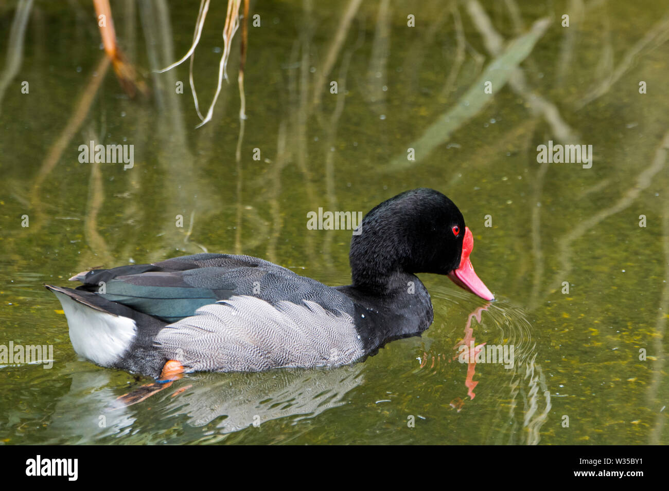 Male rosy-billed pochard / rosybill / rosybill pochard (Netta peposaca) swimming in pond, native to Argentina, Chile, Paraguay, Uruguay and Brazil - Stock Image