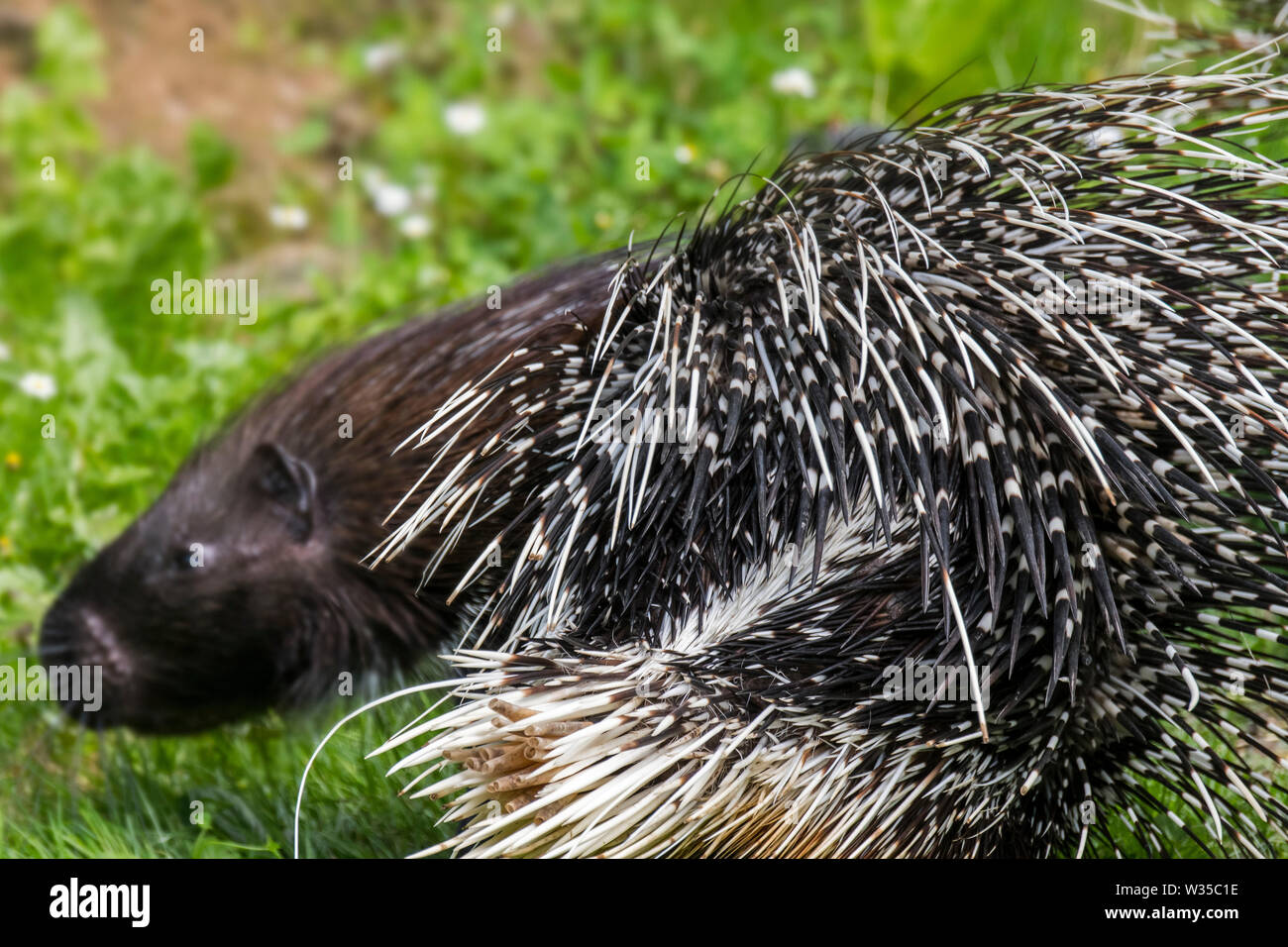 Crested porcupine (Hystrix cristata) close up of quills, native to Italy, North Africa and sub-Saharan Africa Stock Photo