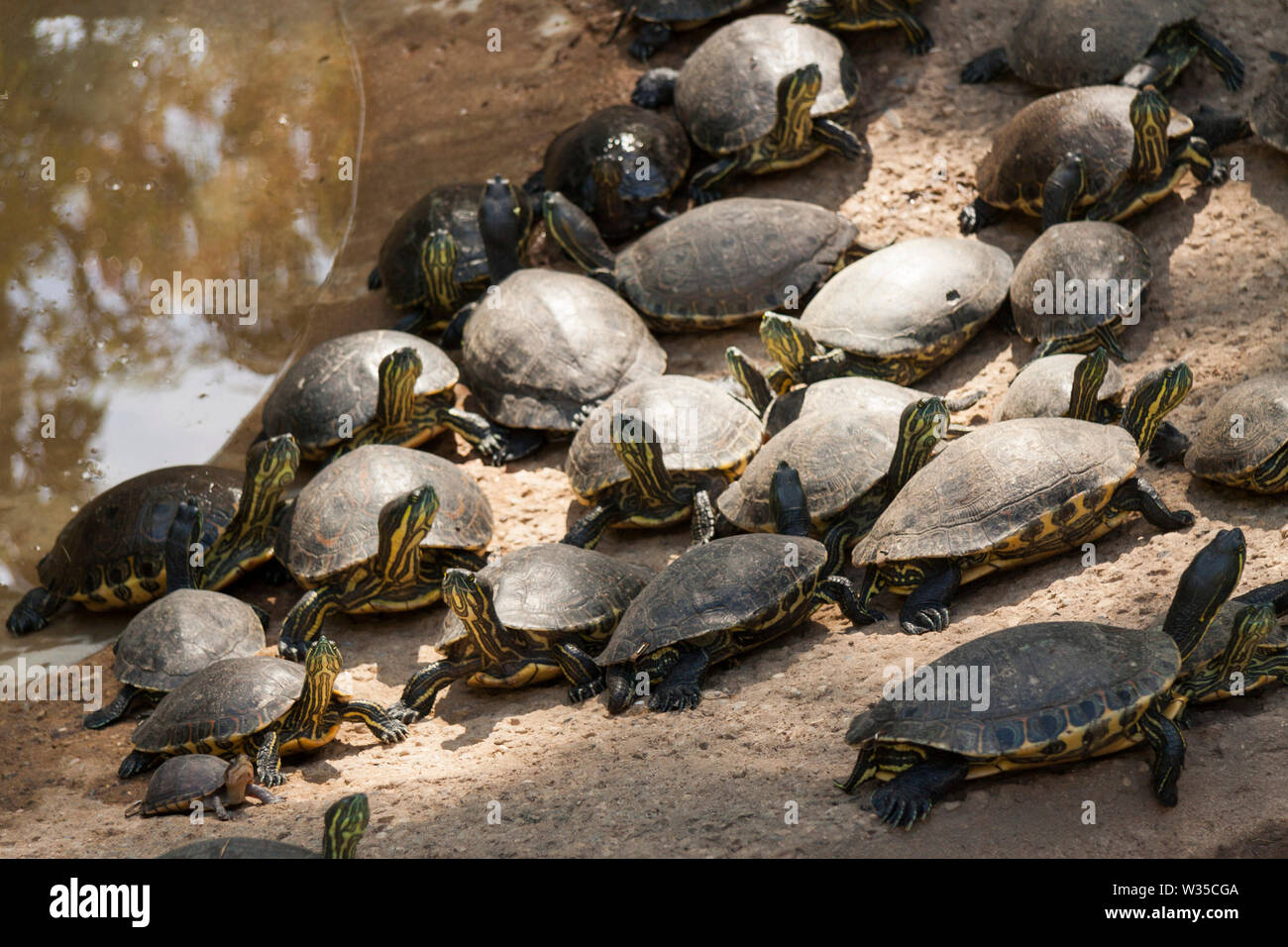Emydidae Turtles grouped in a sandy place. in La Venta Park. Villahermosa,Tabasco,Mexico. - Stock Image