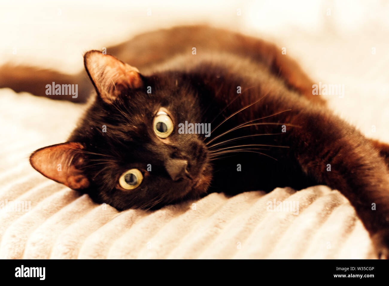 Black cat lying on the gray fur cover on bed - Stock Image