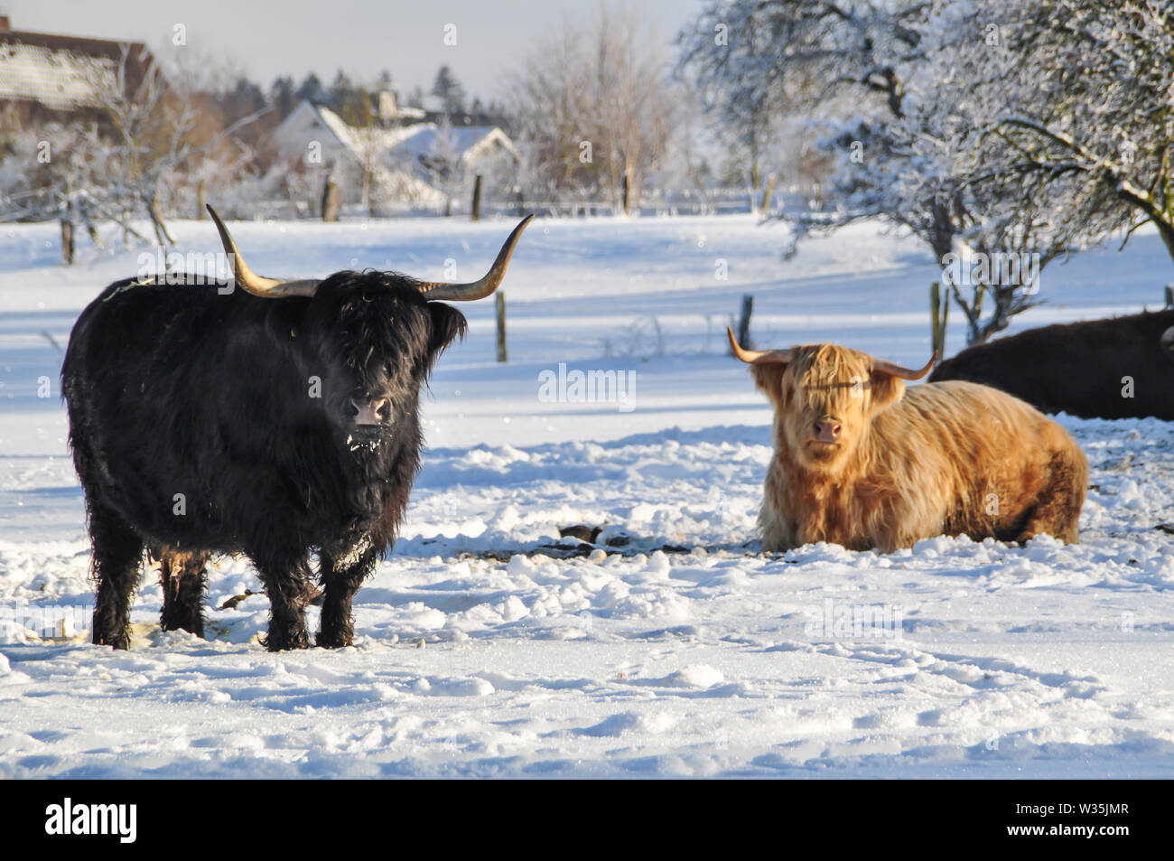 A black and a beige highland cattle on snow-covered paddock. The longhorns are shining in the white snowy landscape. In the background is a housing es - Stock Image