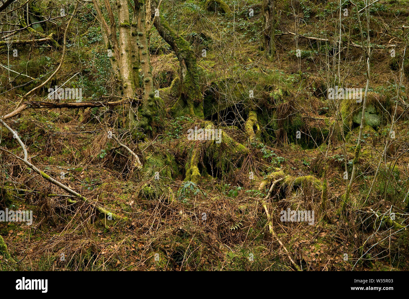 Tangled undergrowth and dead trees on the west flank of Wyming Brook Gorge on the outskirts of Sheffield, South Yorkshire. Stock Photo