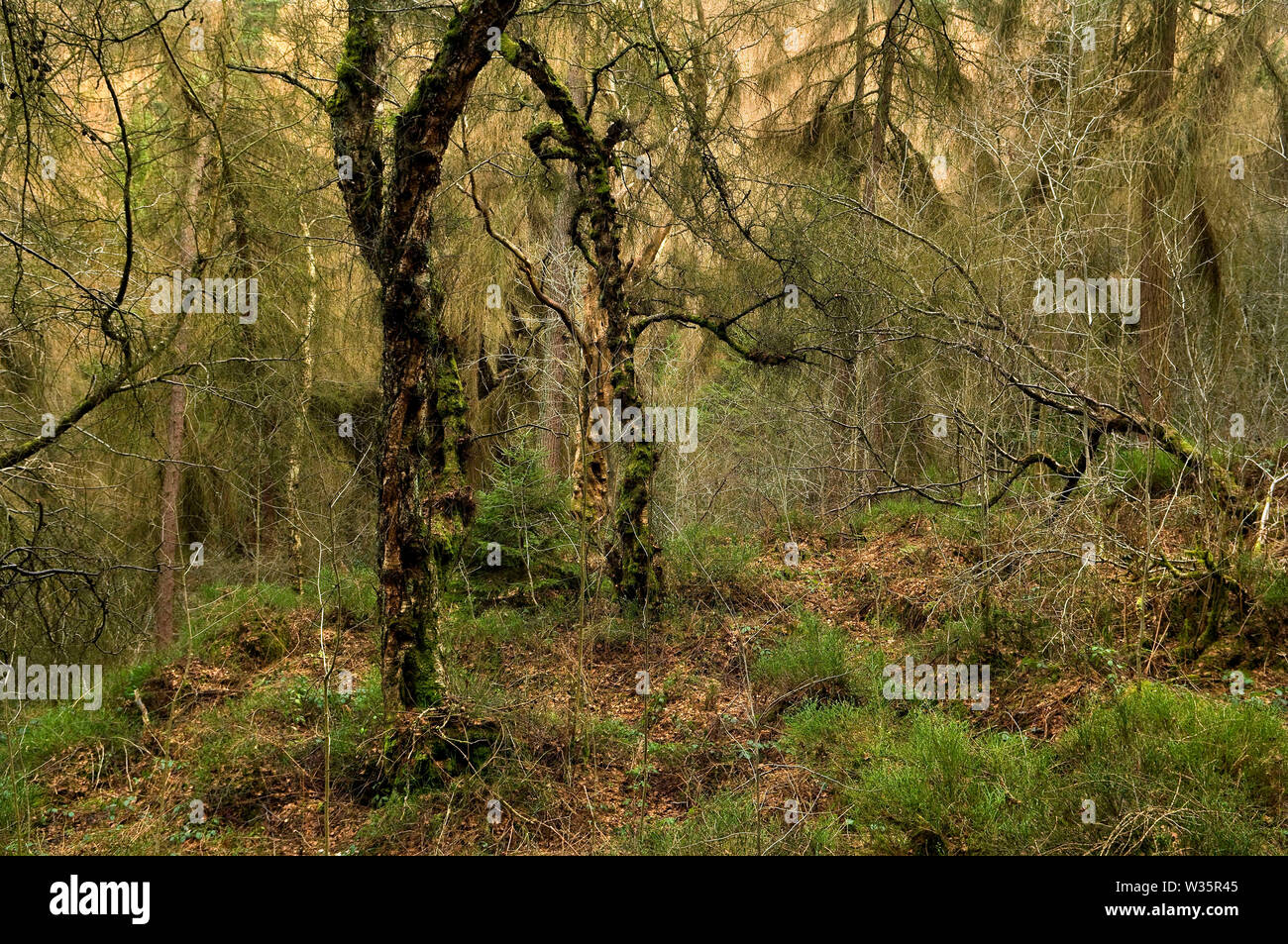 Dense deciduous and evergreen tree growth on the west side of Wyming Brook Gorge on the outskirts of Sheffield, South Yorkshire. Stock Photo