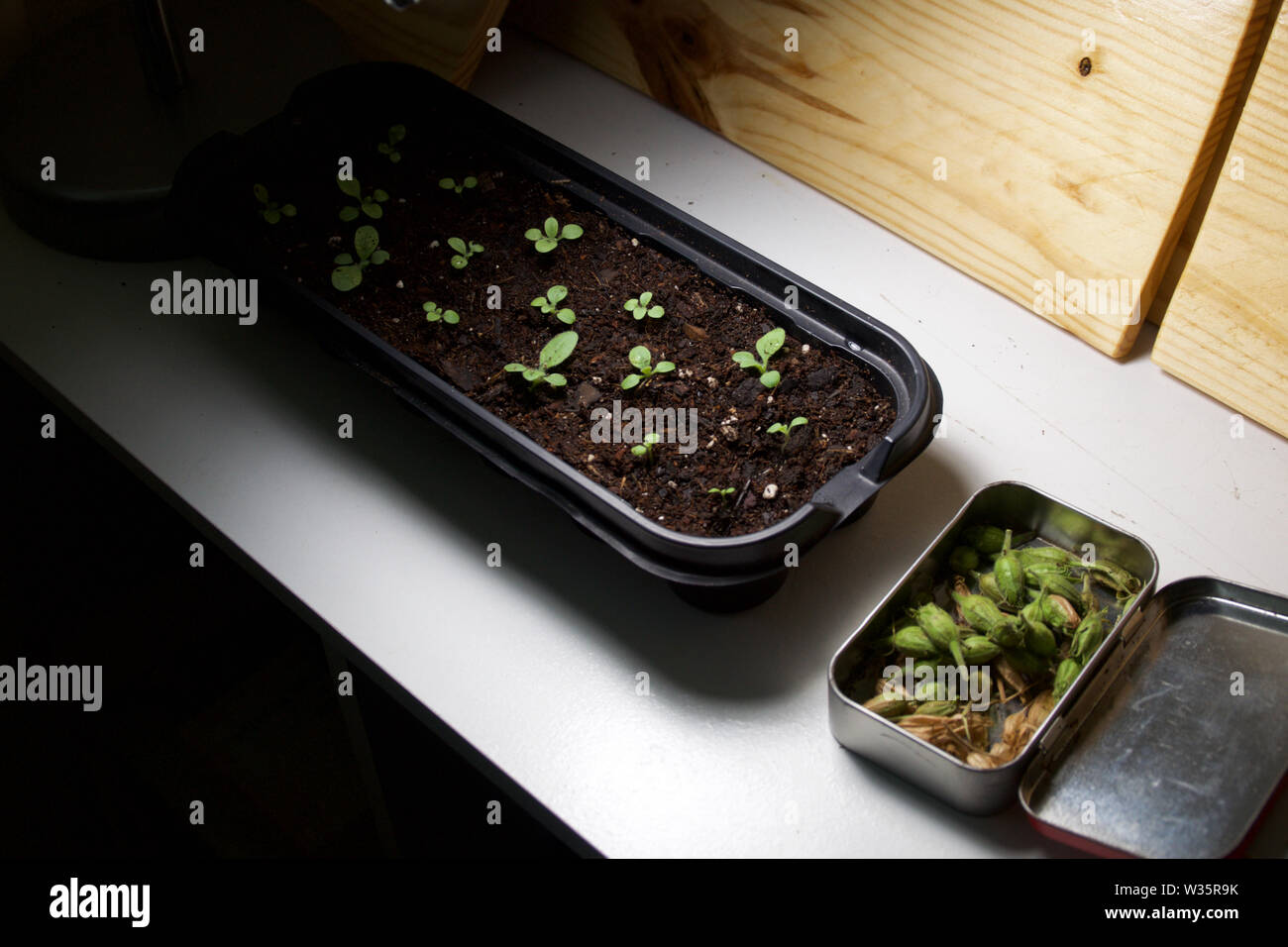 An indoor garden showing seed tray with growing seedlings and fresh seedpods of jasmine tobacco, nicotiana alata, in tin. - Stock Image