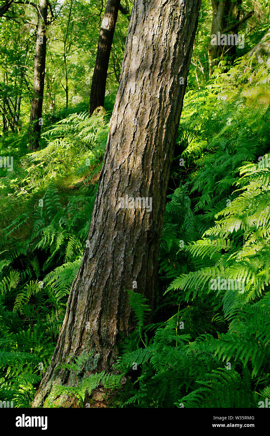 Pine tree trunk in bracken at Wyming Brook Gorge, Near Sheffield, South Yorkshire Stock Photo