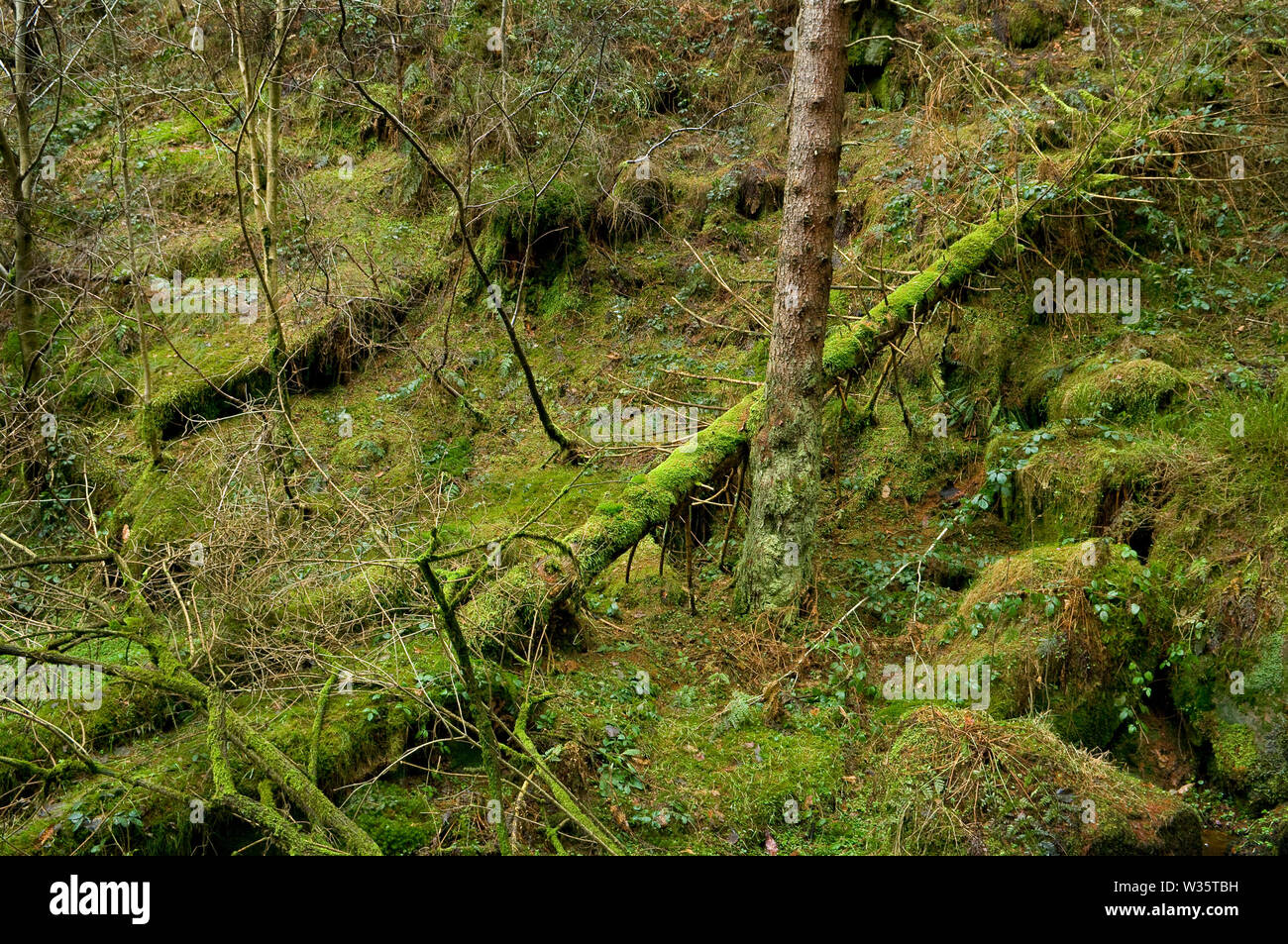 Collapsed pine trunk at Wyming Brook Gorge on the outskirts of Sheffield, South Yorkshire. Stock Photo