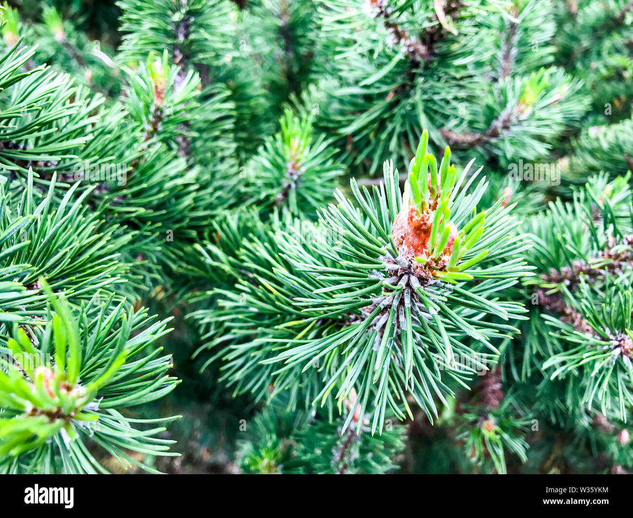 Background for Christmas theme from branches of coniferous tree. Studio Photo - Stock Image