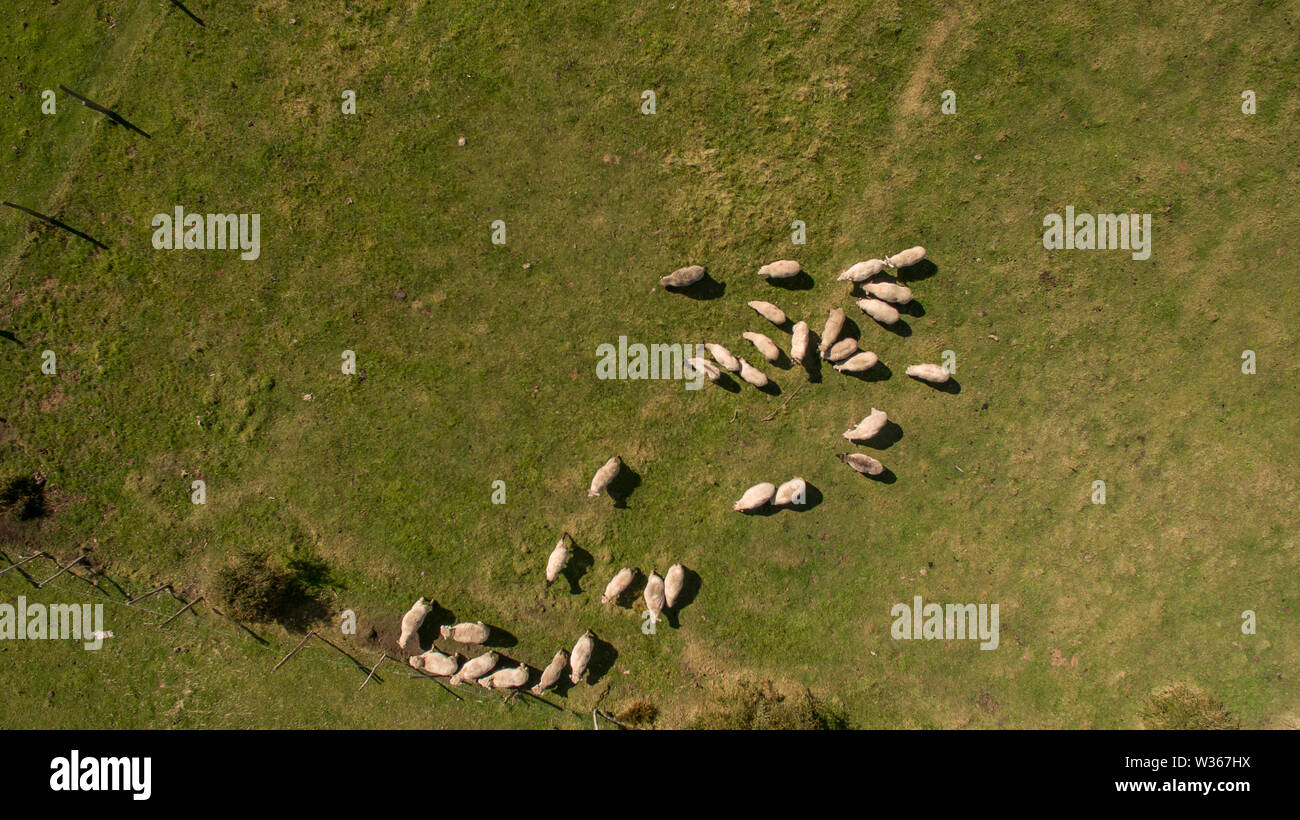 Aerial view of flock of sheep. Aerial landscape. - Stock Image
