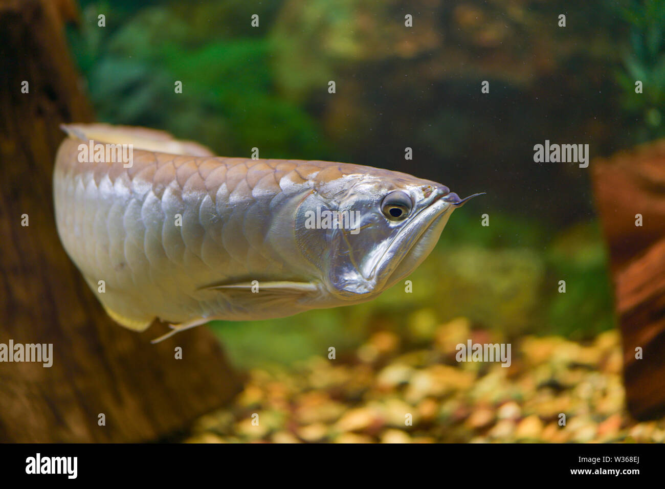 Big silver Arovana fish swims alone in a tank. Horizontal photography - Stock Image