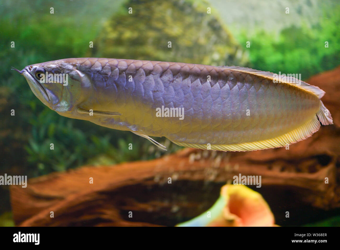 Big silver Arovana fish swims alone in a tank. Horizontal photography Stock Photo