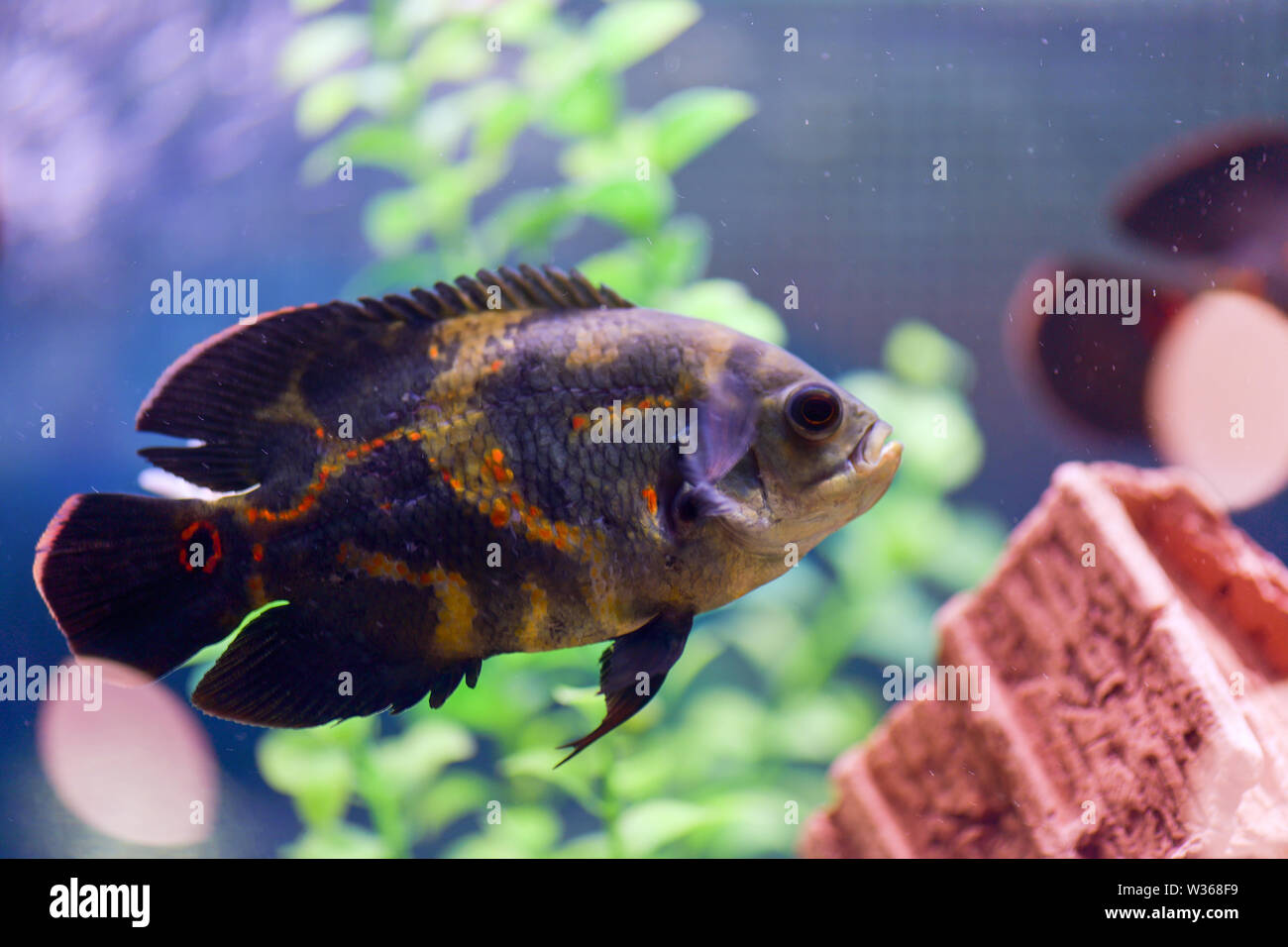Oscar (Astronotus ocellatus) macro. Fish astronaut swims in a transparent aquarium with a beautiful design - Stock Image