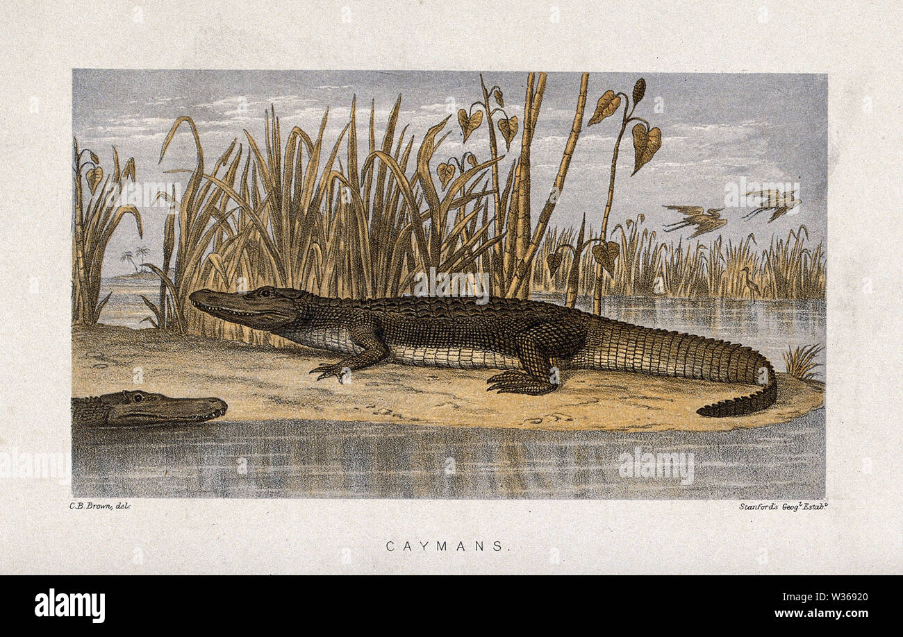 A cayman basking on an island surrounded by swamp. Coloured lithograph after C. B. Brown. - Stock Image