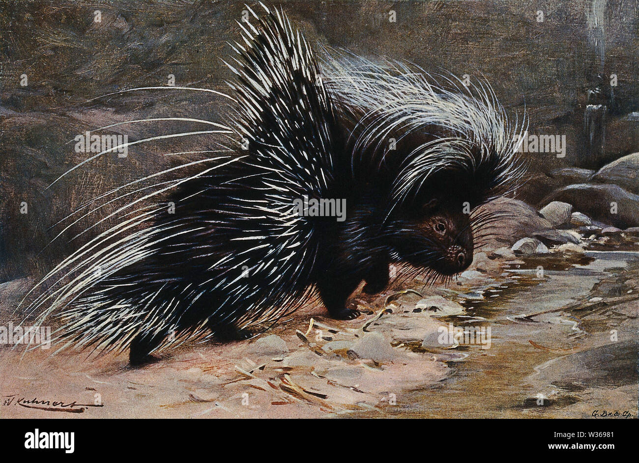 A crested porcupine. Colour lithograph after W. Kuhnert. Stock Photo