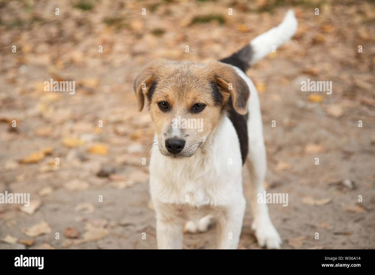 Homeless little dog looking at something on the road in the forest in autumn. - Stock Image