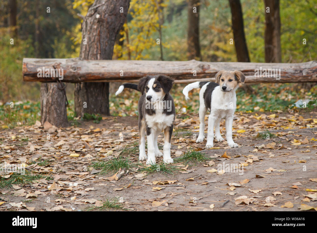 Homeless little dogs looking at something on the road in the forest in autumn. - Stock Image