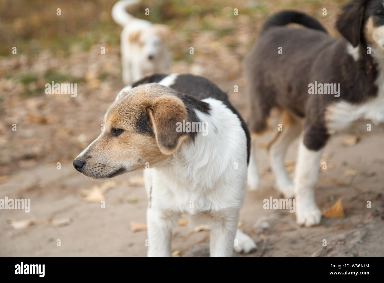 Homeless little dog looking at something on the road in autumn with other ones on the background. Shallow depth of field. - Stock Image