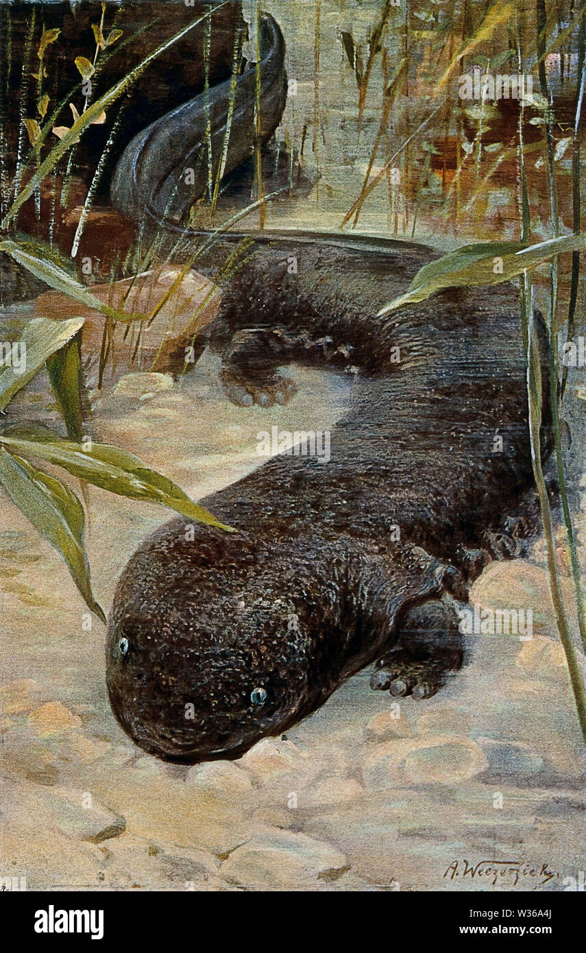 A giant salamander. Colour lithograph after A. Weczerzick. - Stock Image