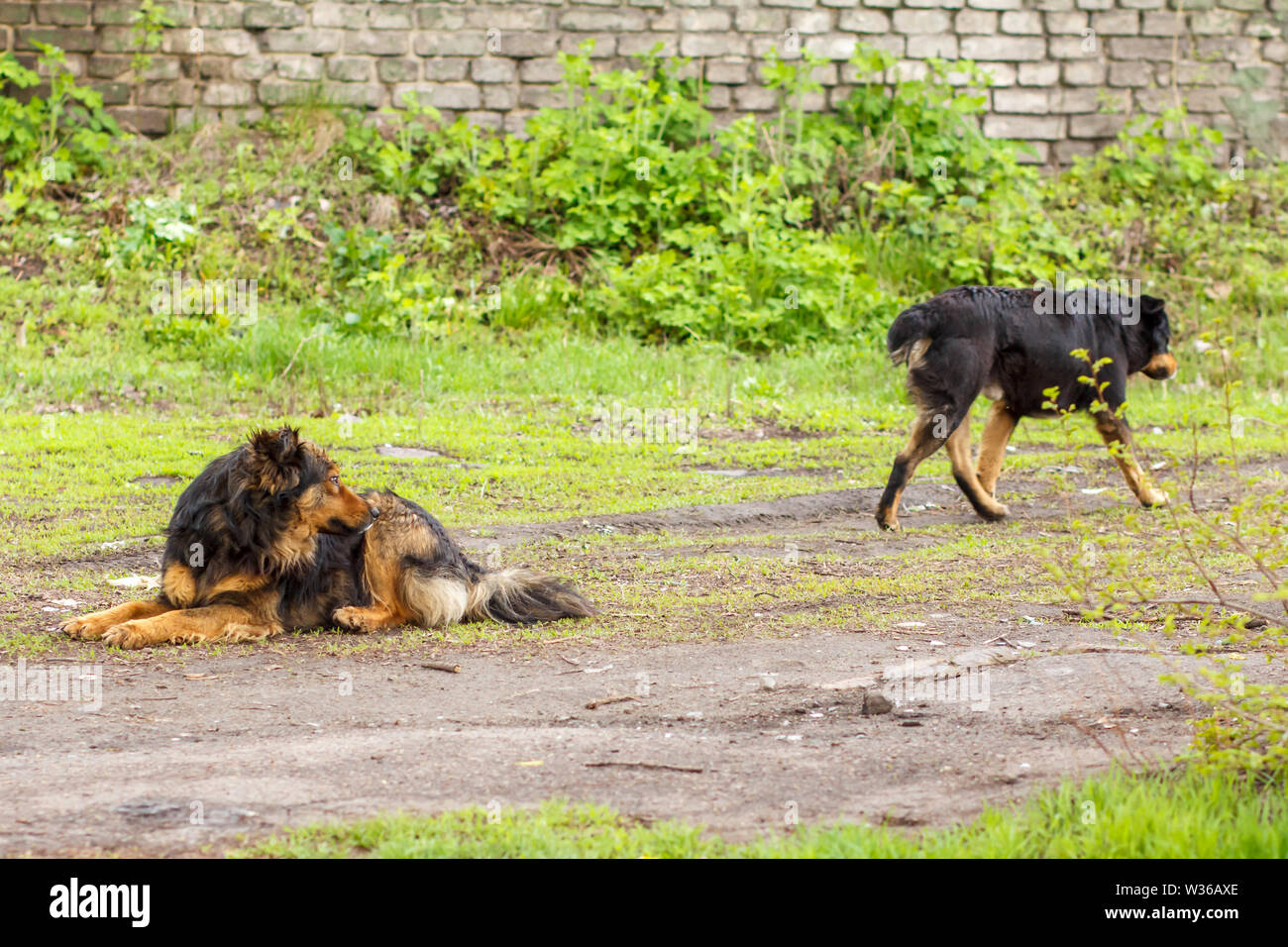 Homeless dog looking at another dog on the road in the city with wall on the background. - Stock Image