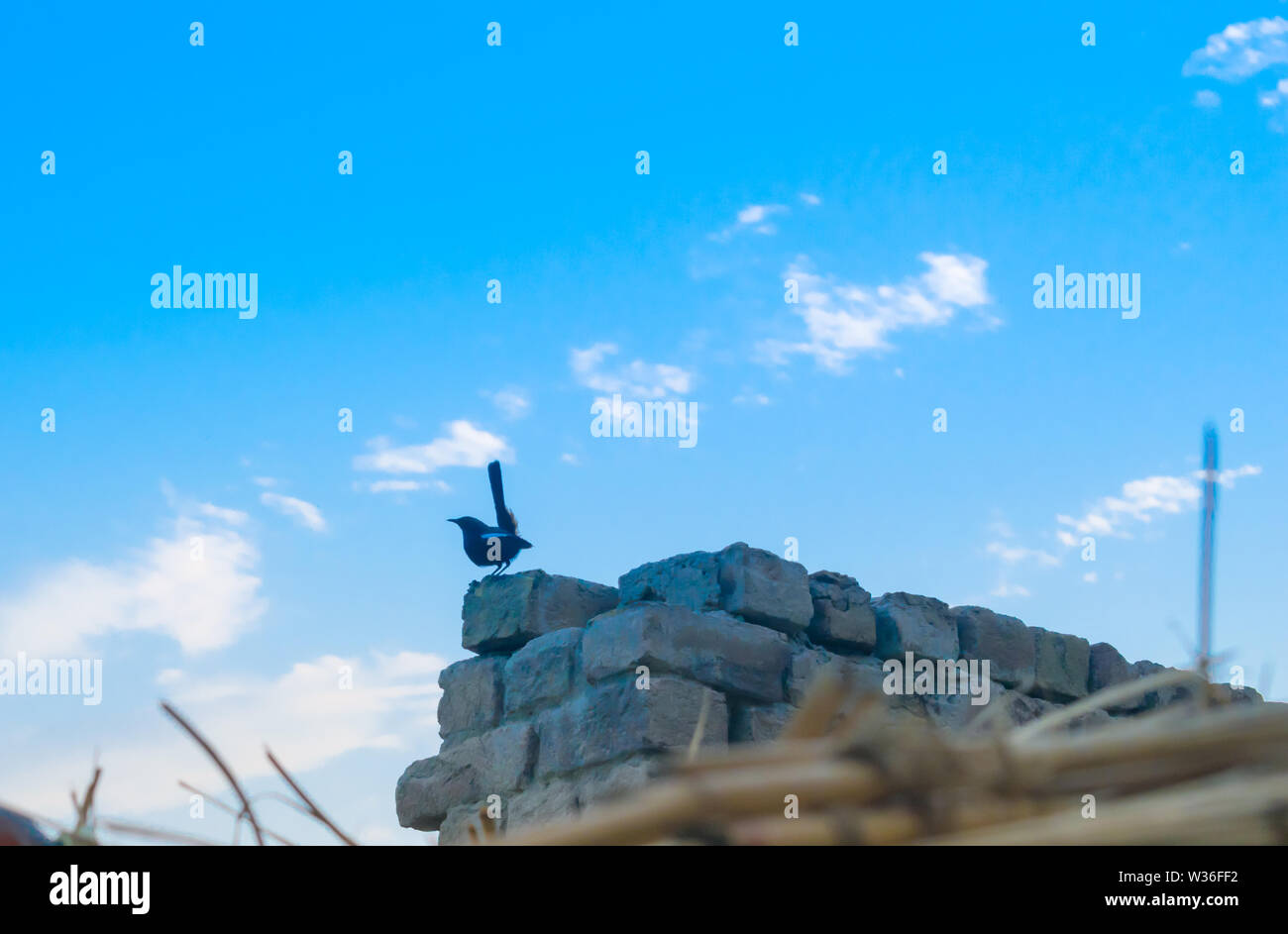 a cape robin chat sitting on a wall at evening,with cloudy sky background. Stock Photo