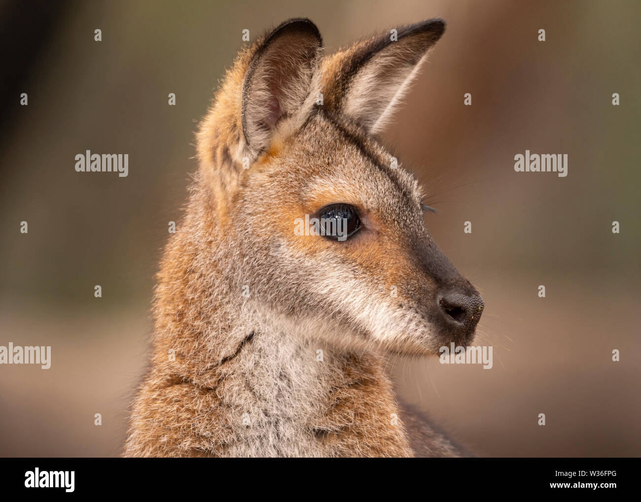 Red-necked Wallaby, Macropus rufogriseus, alert to danger in bushland near Dubbo in Central West of New South Wales, Australia Stock Photo