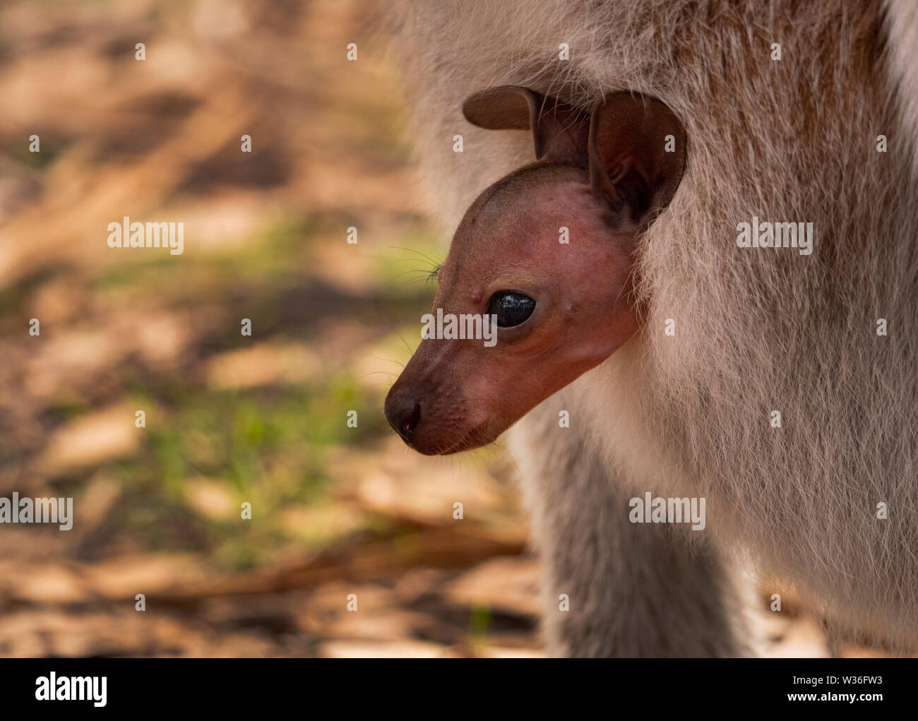 Baby joey Red-necked Wallaby, Macropus rufogriseus, poking its head out of its mother's pouch in near Dubbo Central West of New South Wales Australia. Stock Photo