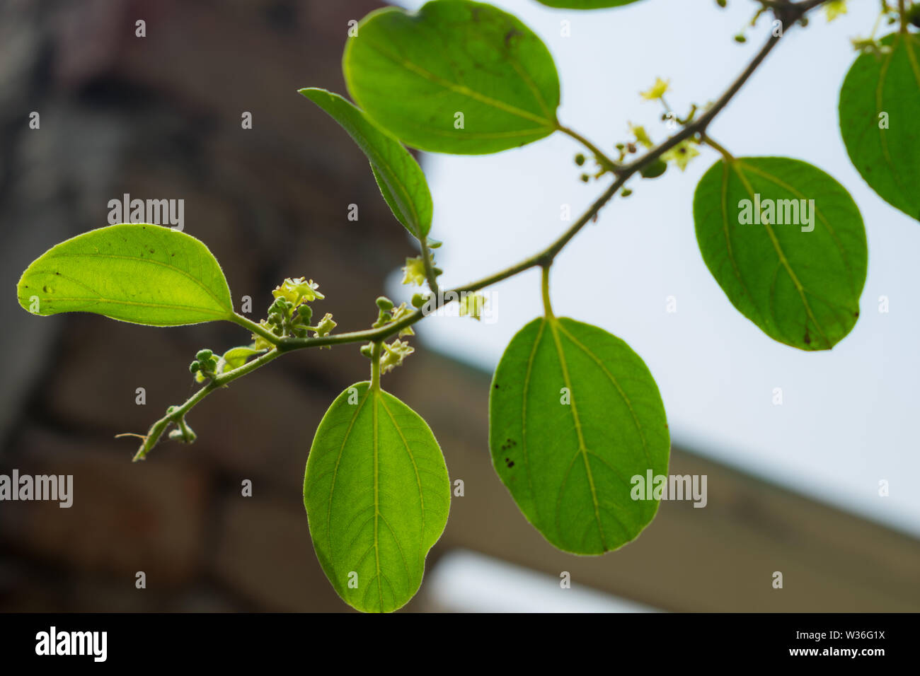close up of ziziphus jujube leaves with blurred background. Stock Photo