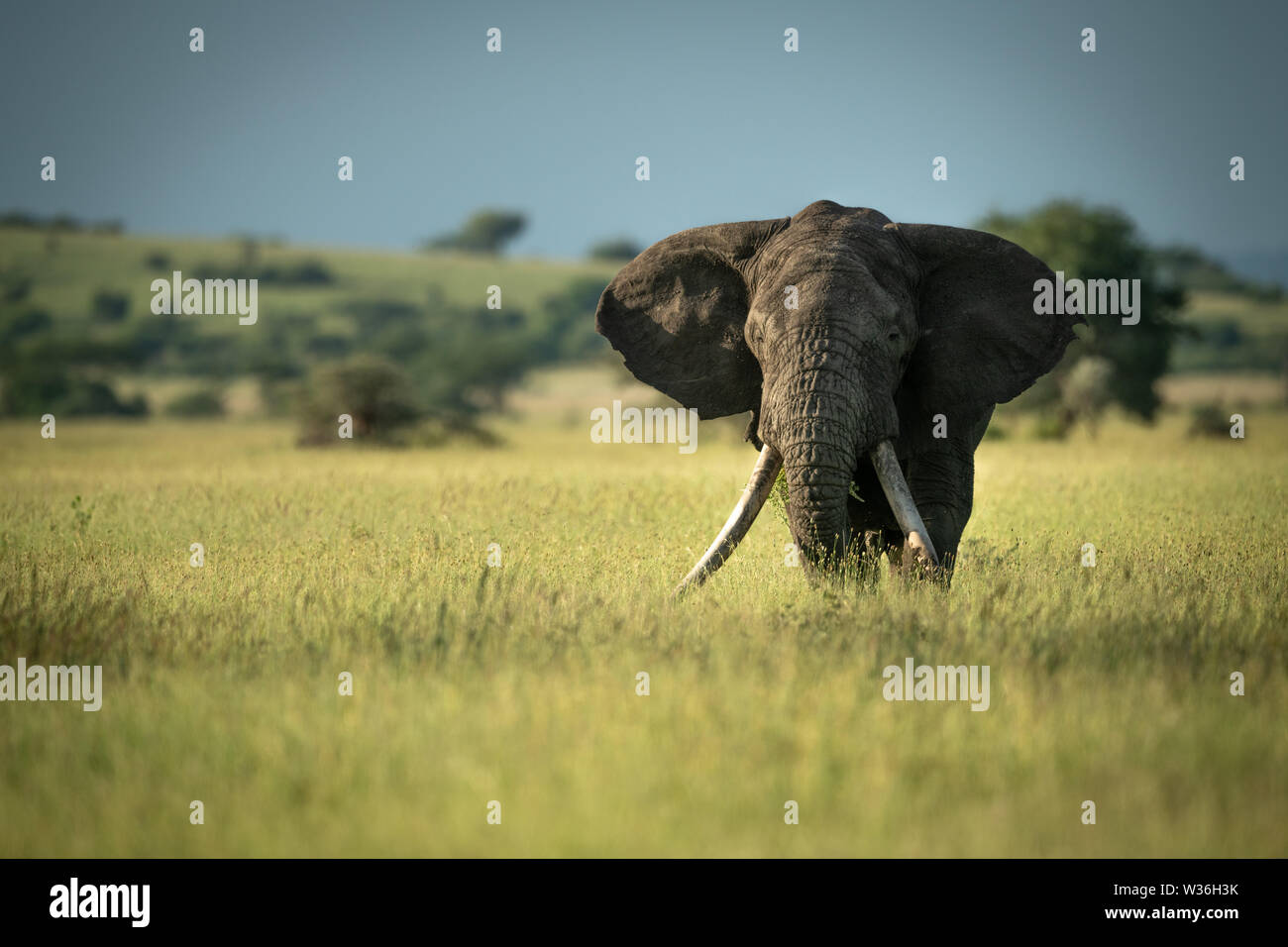 African bush elephant stands in long grass - Stock Image