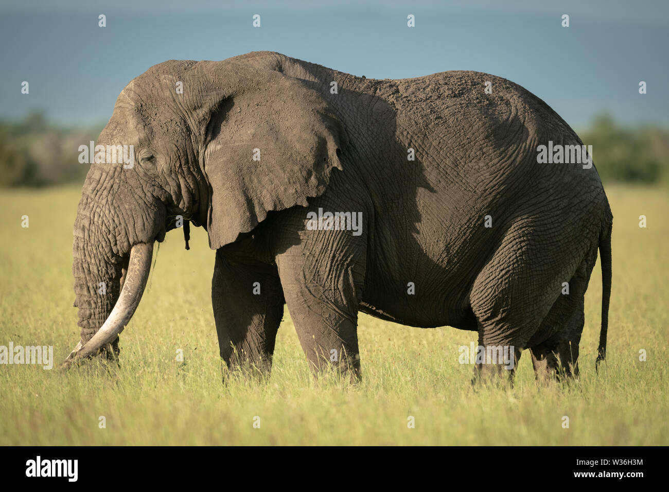 African bush elephant standing in long grass - Stock Image