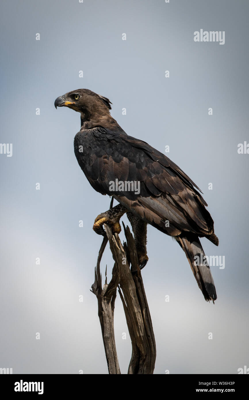 African crowned eagle faces left on stump - Stock Image