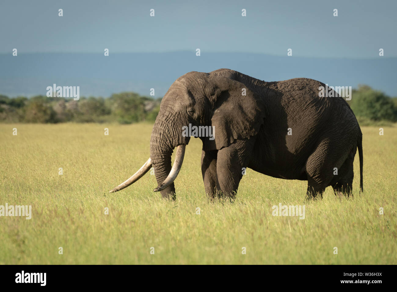 African bush elephant stands showing massive tusks - Stock Image