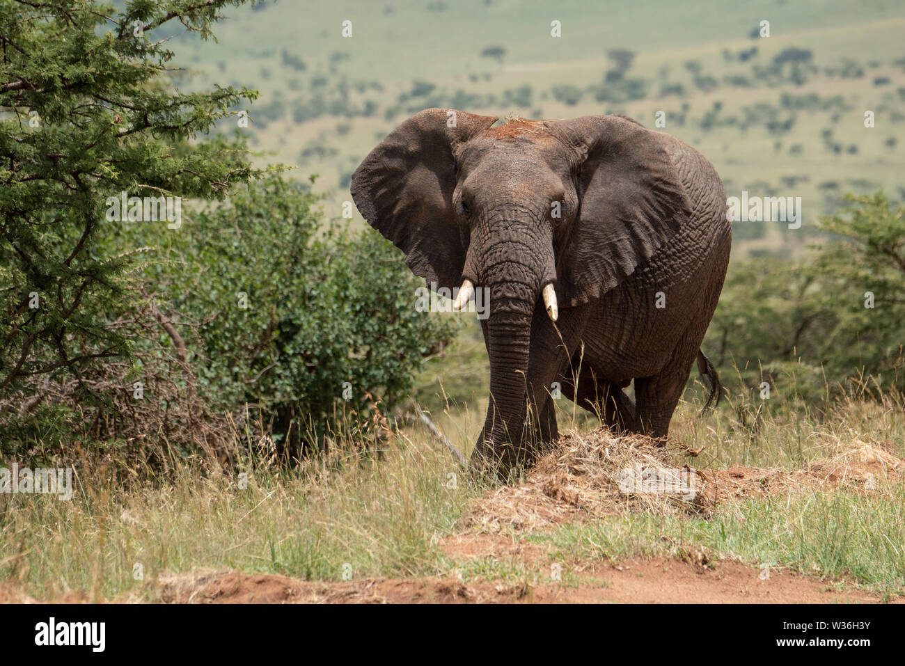 African elephant among bushes stares at camera - Stock Image
