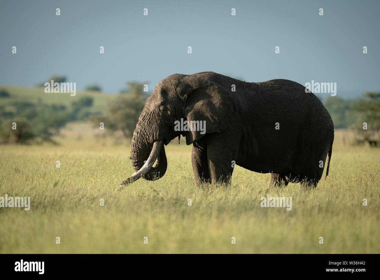 African bush elephant stands eating in grass - Stock Image