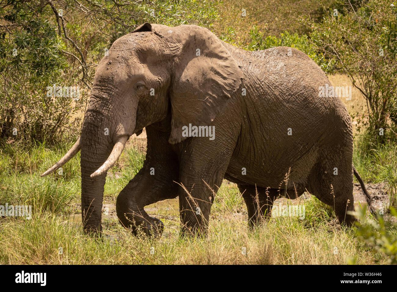African bush elephant walks past muddy pool - Stock Image
